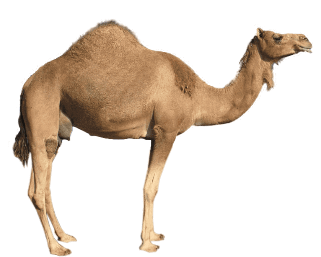Fun Fact 2 Camel 16545